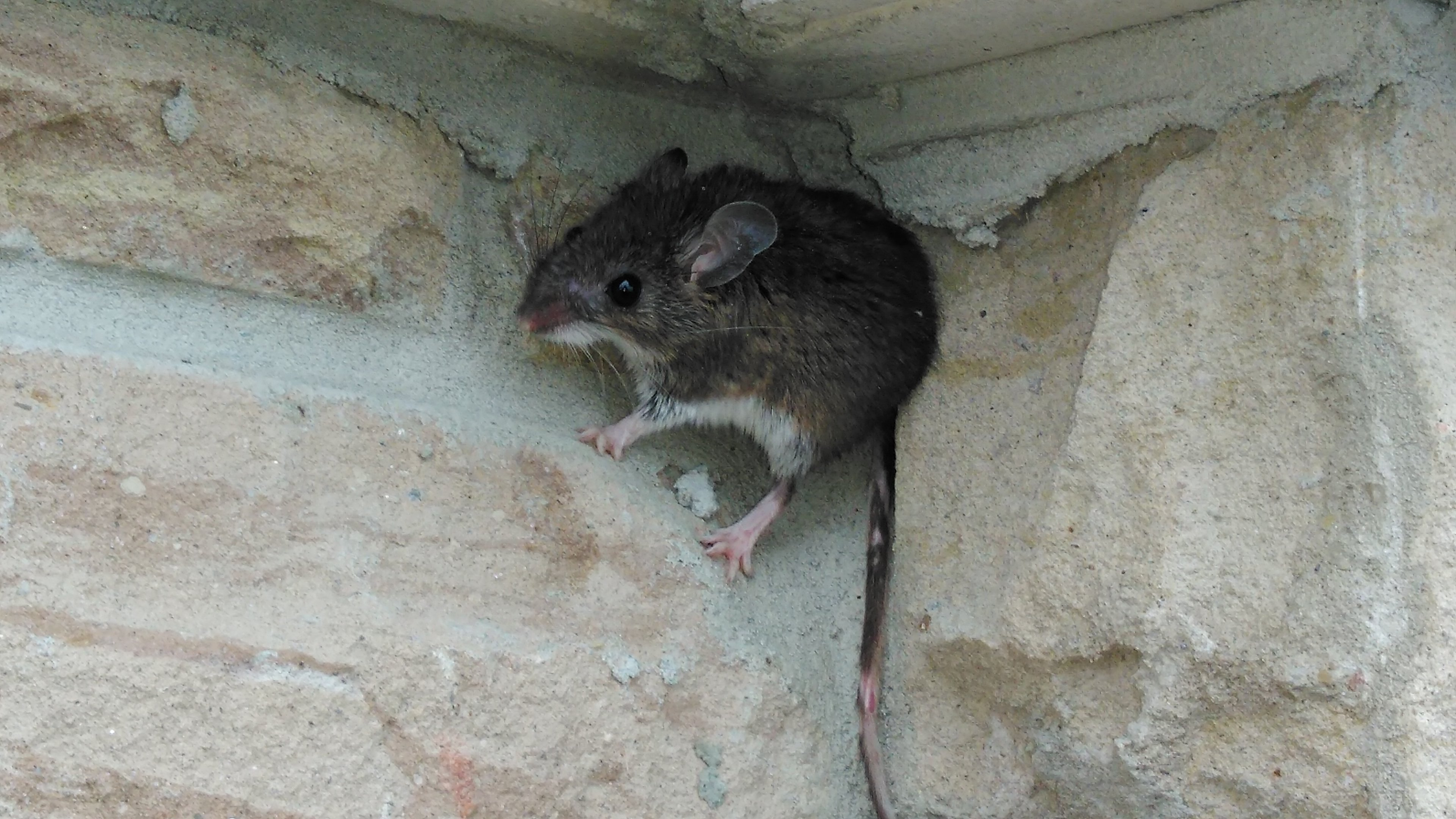 mice climbs up brick wall