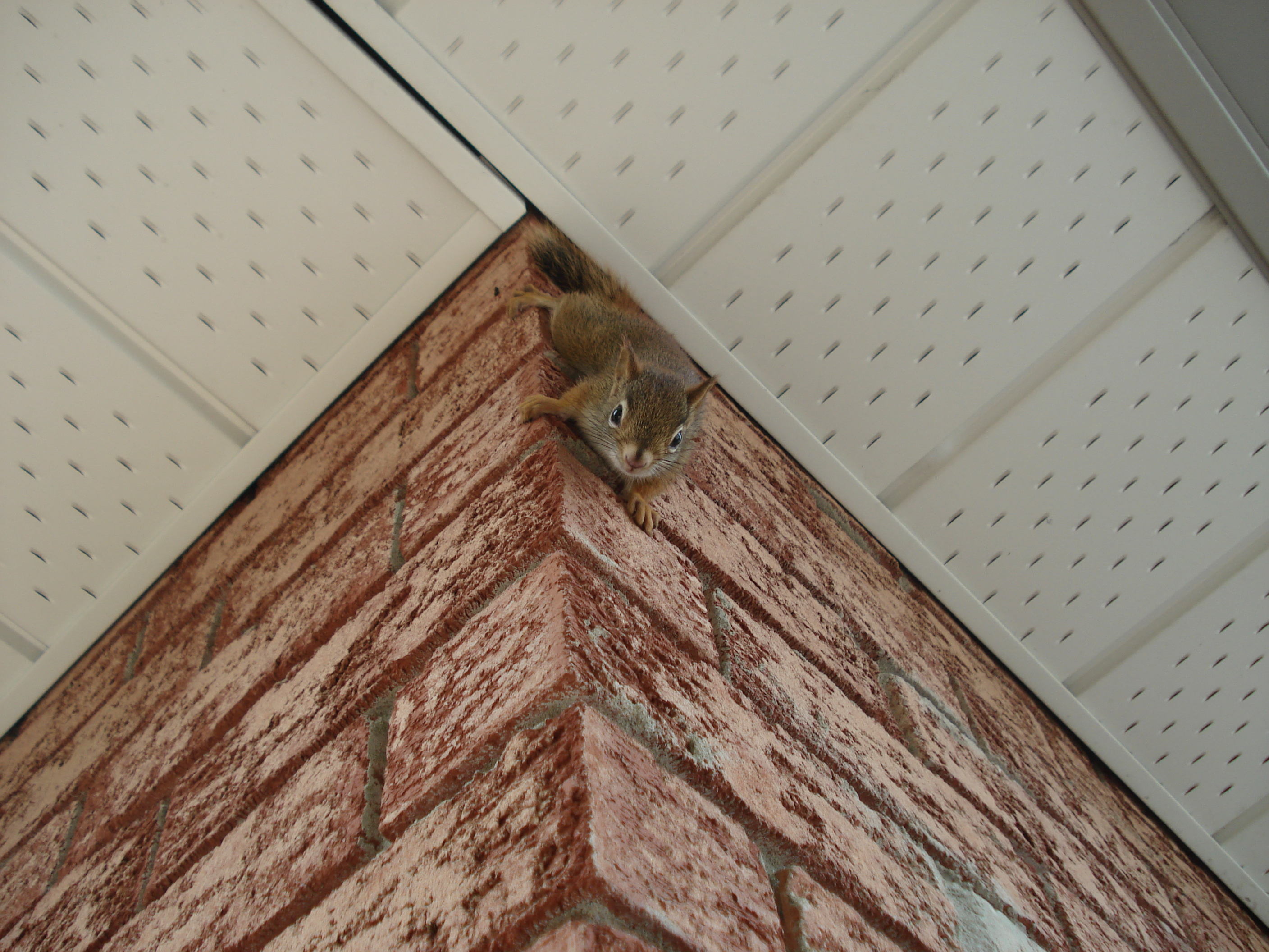 red squirrel climbing down a wall
