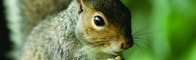 Skedaddle Wildlife Helps You With Squirrels