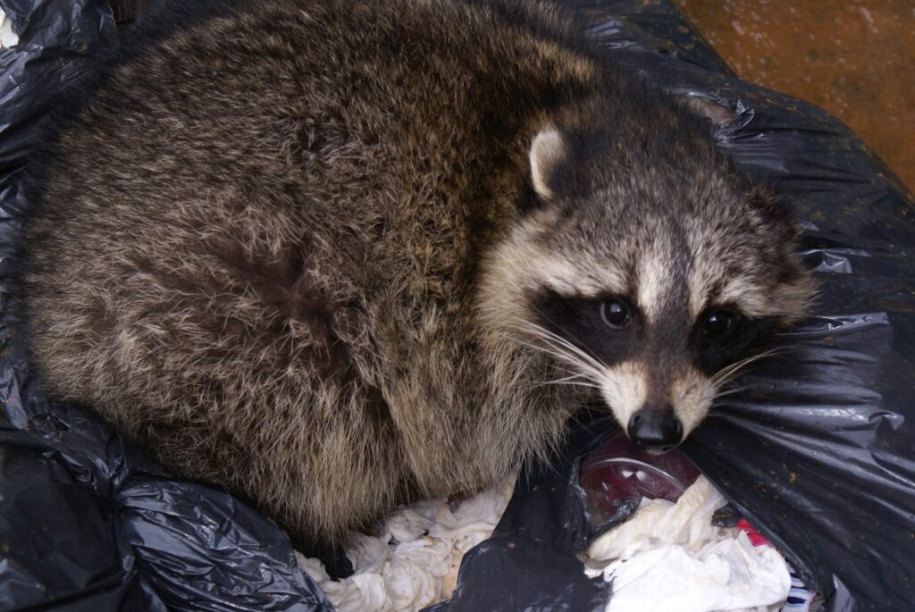 Distemper_raccoon