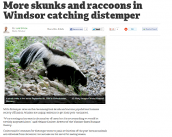 The Rise of Distemper Makes Effective Raccoon Removal Even More Important