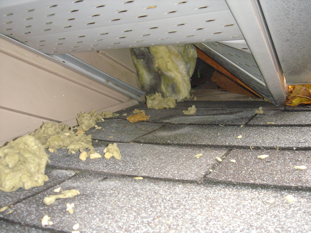 Raccoons lifted this soffit to enter the attic