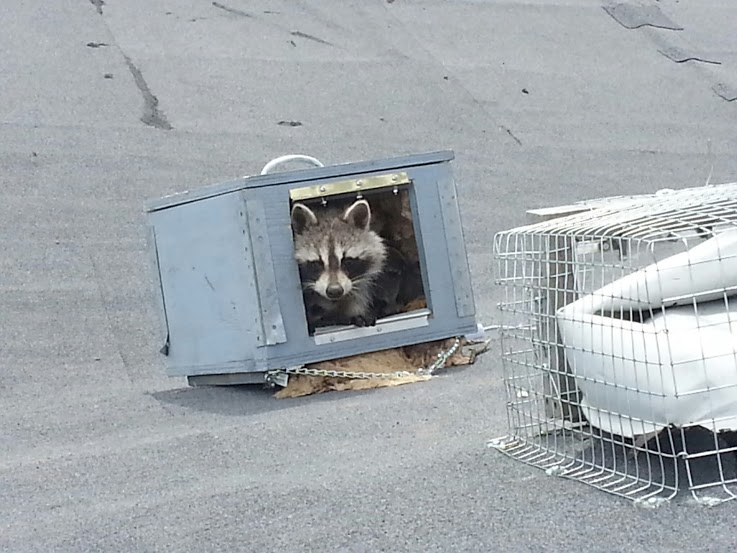 A mother raccoon inside Skedaddle's heated baby box