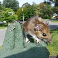a mouse humanely removed from a home