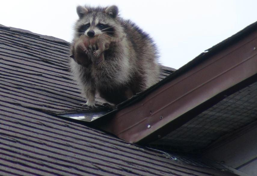raccoon_on_roof
