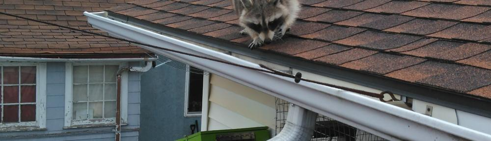 Raccoon on the Roof