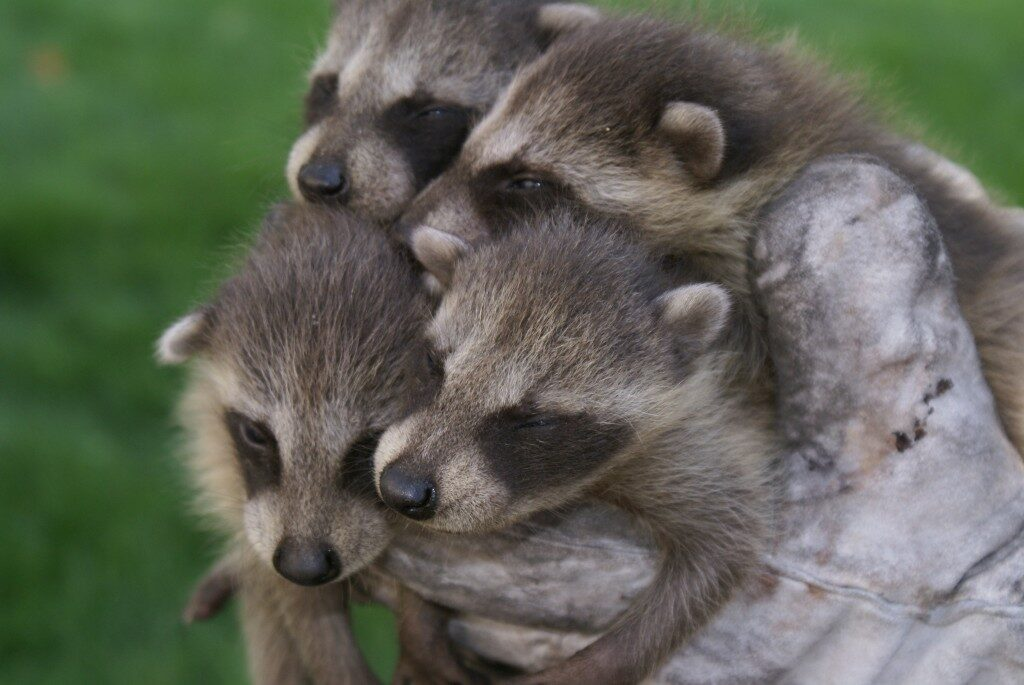 Baby raccoons removed from a chimney