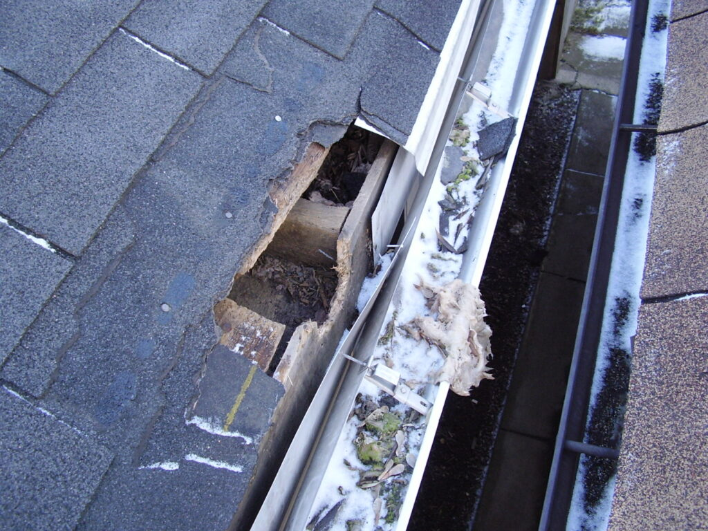 A clogged gutter caused this section of roof to rot and allow raccoons into the attic