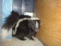 How To Neutralize Skunk Odor