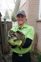 Technician holding a group of raccoons