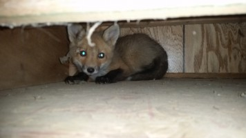 fox under deck_wildlife removal