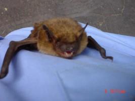bat_bat removal