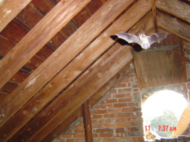 bat in attic_bat removal