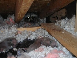 mom raccoon with babies | raccoon removal