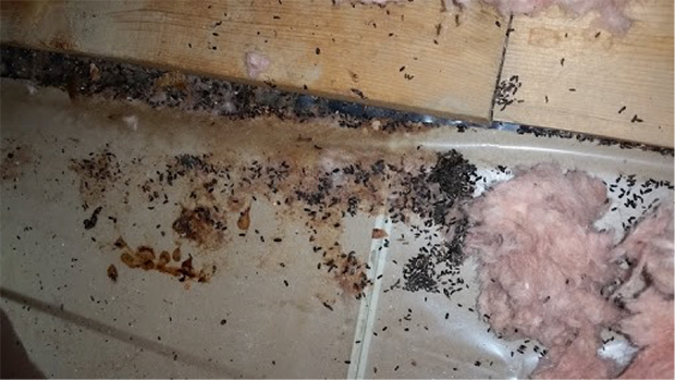 Mouse droppings in attic insulation