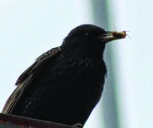 Starling Mating