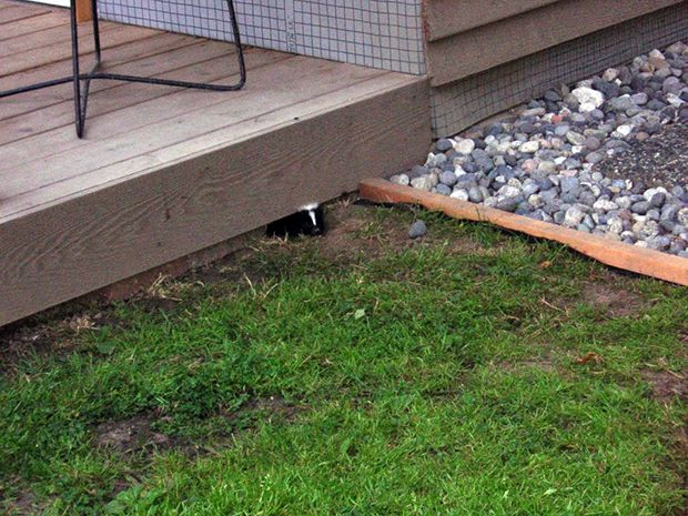 Skunks are excellent diggers and like to make their homes under sheds, decks or other structures on properties. A skunk living on your property from April to September should be assumed to be a mother.