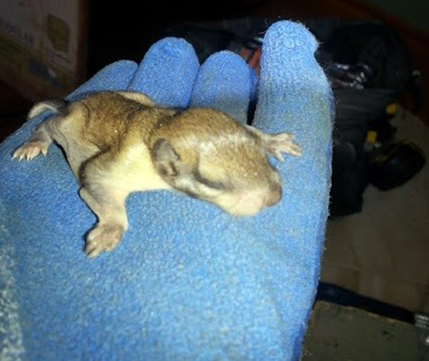 Controlling Flying Squirrels in Sudbury