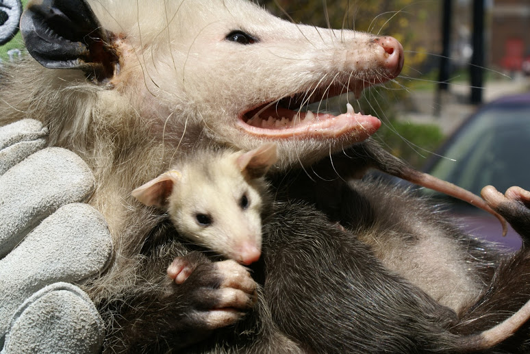 Opossum mom and babies Removed from Shed in Hamilton