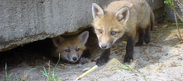 Foxes will burrow under structures like sheds or decks to make a suitable home for their young. The only way to prevent this is to have the structure screened off.