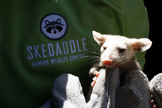 Opossum babies are born in a pouch. Babies immediately immediately crawl into the mother's pouch, where they continue to develop. As they get larger, they will go in and out of the pouch and sometimes ride on the mother's back as she hunts for food.
