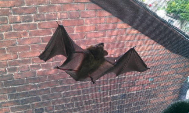 A bat hanging from a window screen inside a home