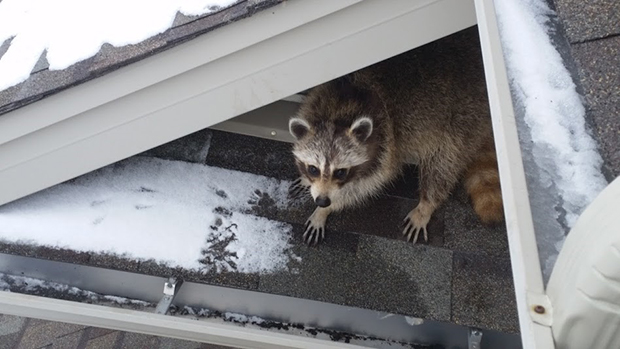 A mother raccoon on the roof of a house in Mississauga