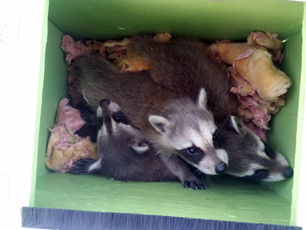 A litter of raccoon babies removed from an attic. Their mother will return to relocate them to one of her other den sites in the neighbourhood.