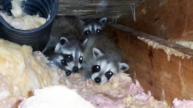 A litter of raccoon babies tucked away in an attic by their mother.