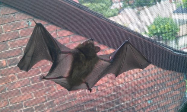 A bat hanging from a window screen. Most bats that get into the living space of a home came from a colony in the attic.