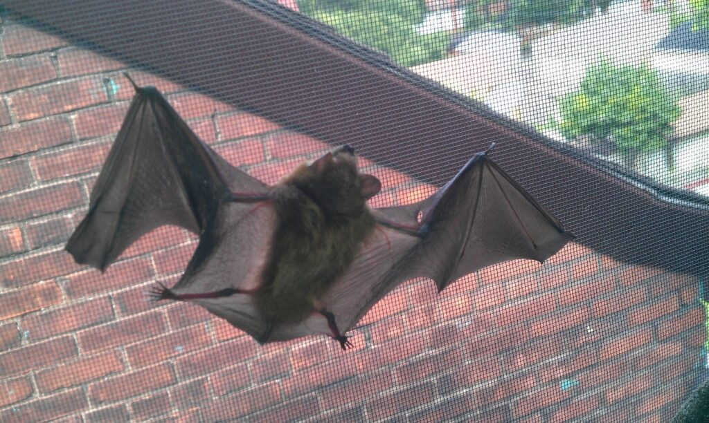 bat-clinging-to-a-window-screen