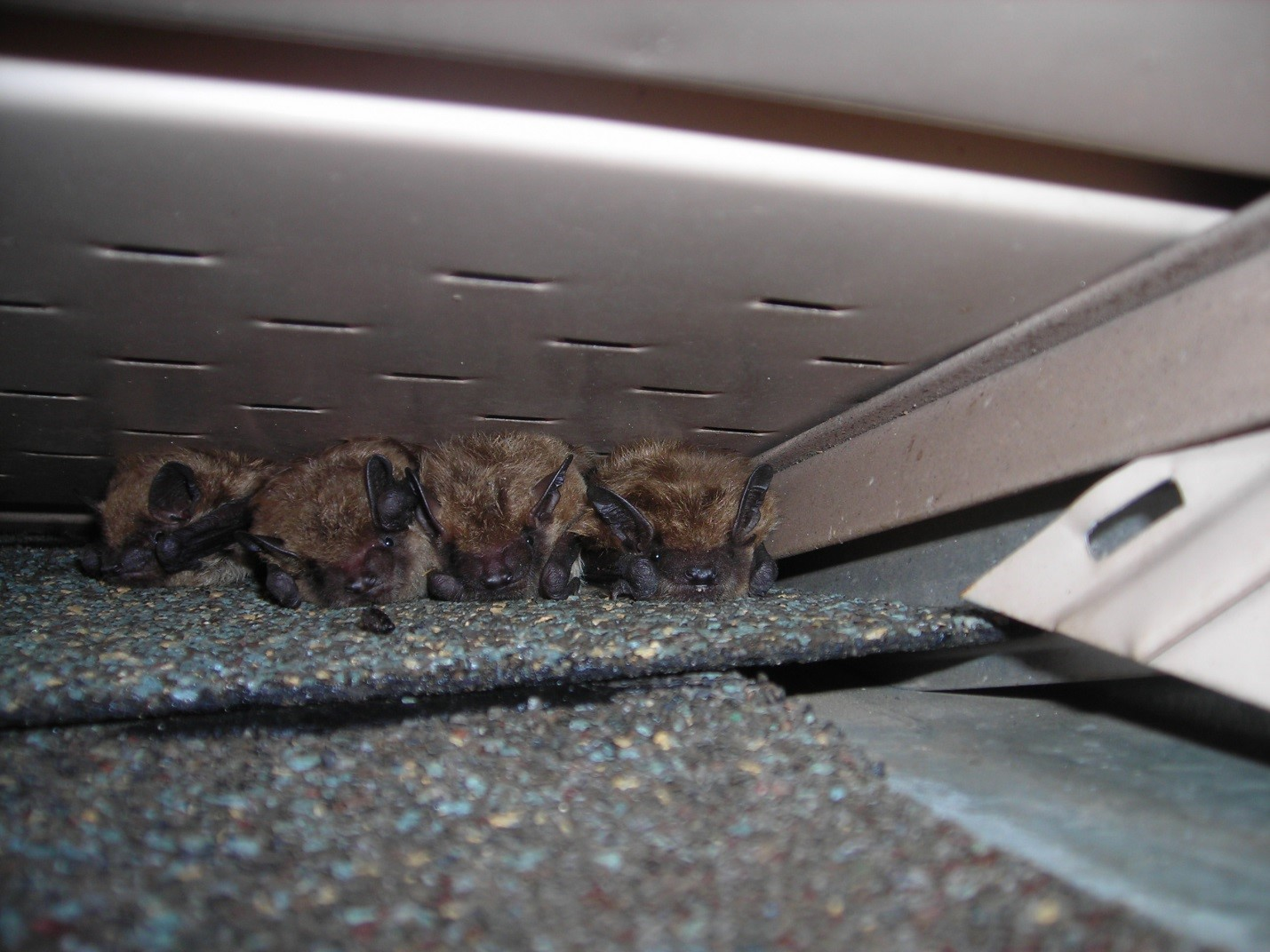 bats-huddled-together-on-a-roof