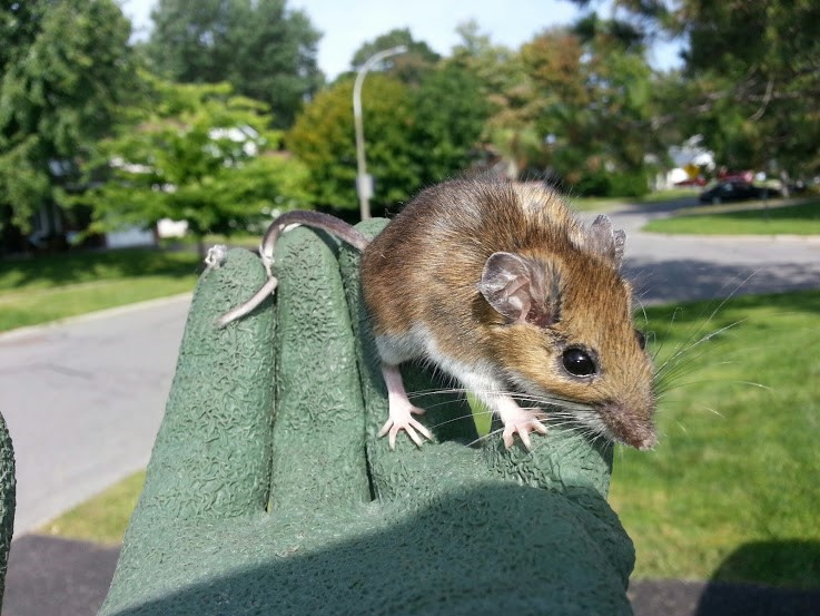 common-house-mouse