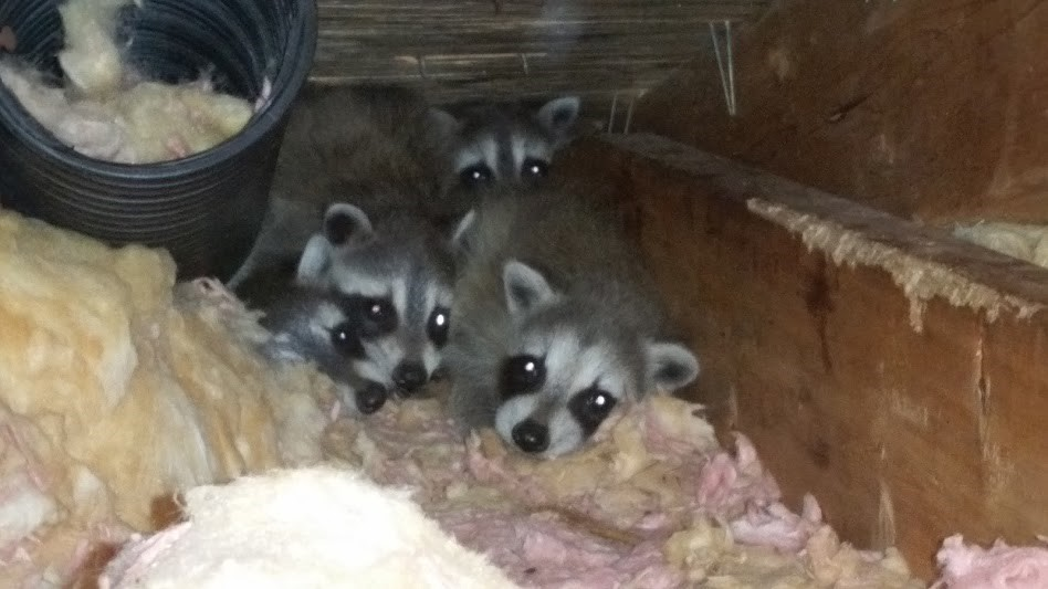 raccoon-babies-in-an-attic