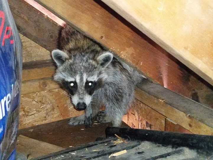raccoon-living-inside-a-garden-shed