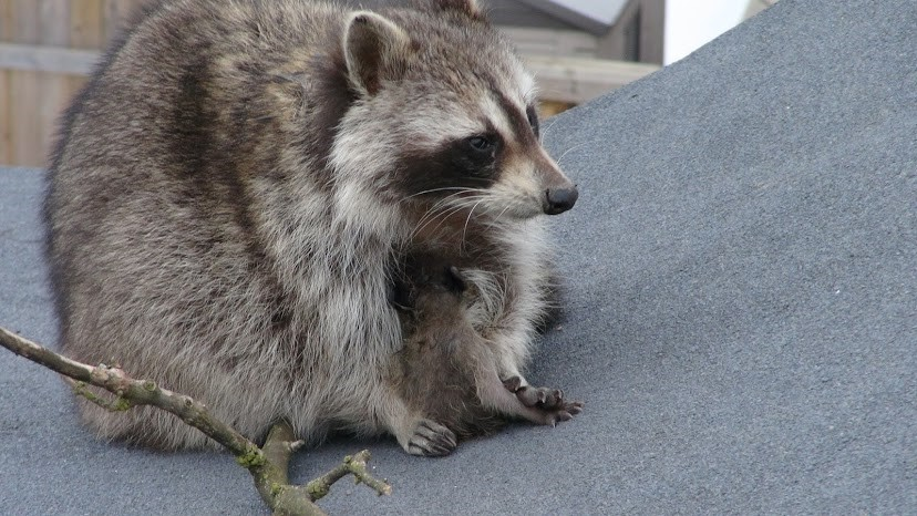 raccoon-mother-with-one-of-her-babies