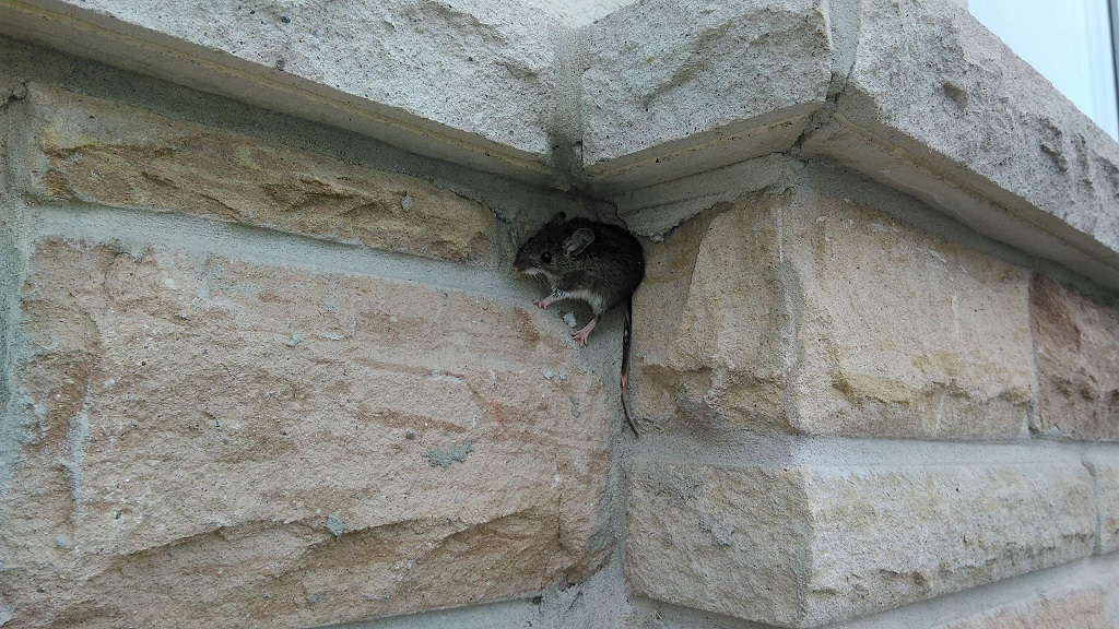 Getting rid of mice with moth balls is this a worthwhile option mice are excellent climbers which can make it impossible to get moth balls to where they are hiding ccuart Images