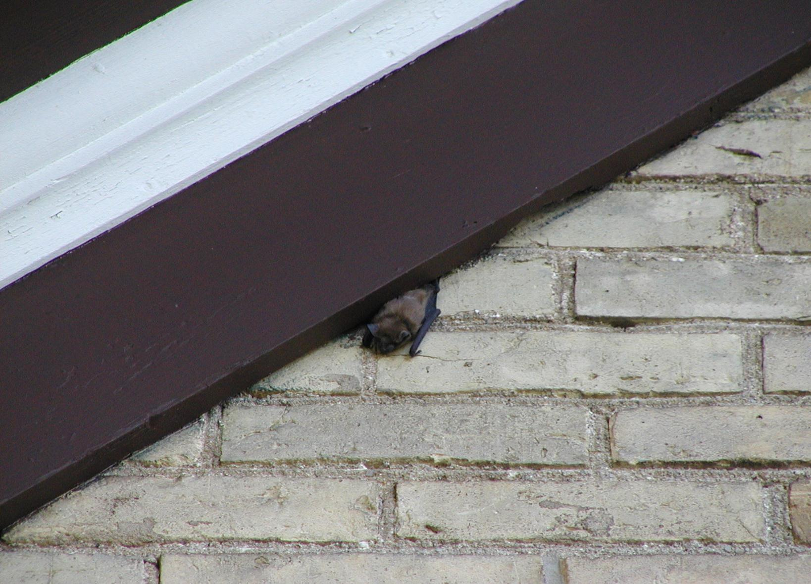 A bat squeezing it's way out of an attic