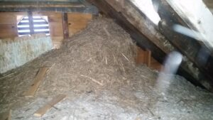 A accumulation of nesting sparrow nesting material inside an attic. When sparrows nest inside roof vents the material can fall into the attic below and continue to build as the birds top up their nest year after year.