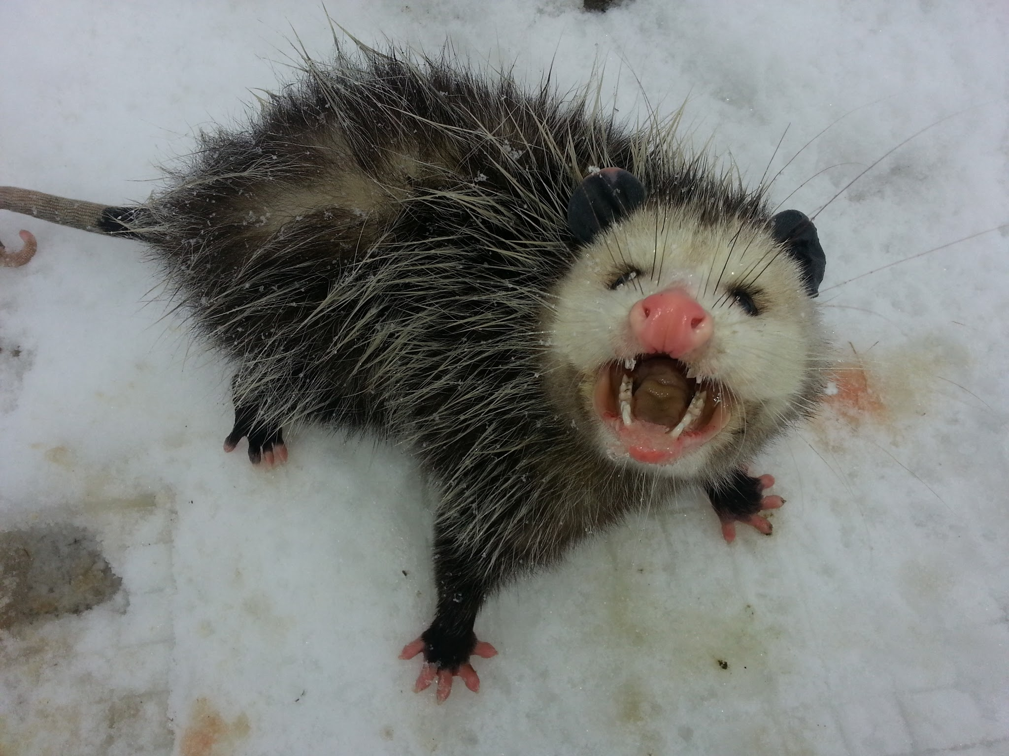 Opossums often struggle to survive harsh winters