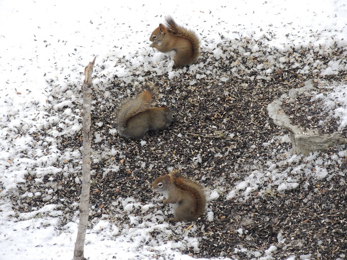 Rodents like squirrels often rely on bird feeders to help them survive winter