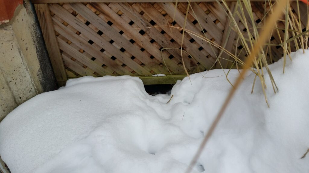 Raccoon tracks leading directly to their entry below this deck