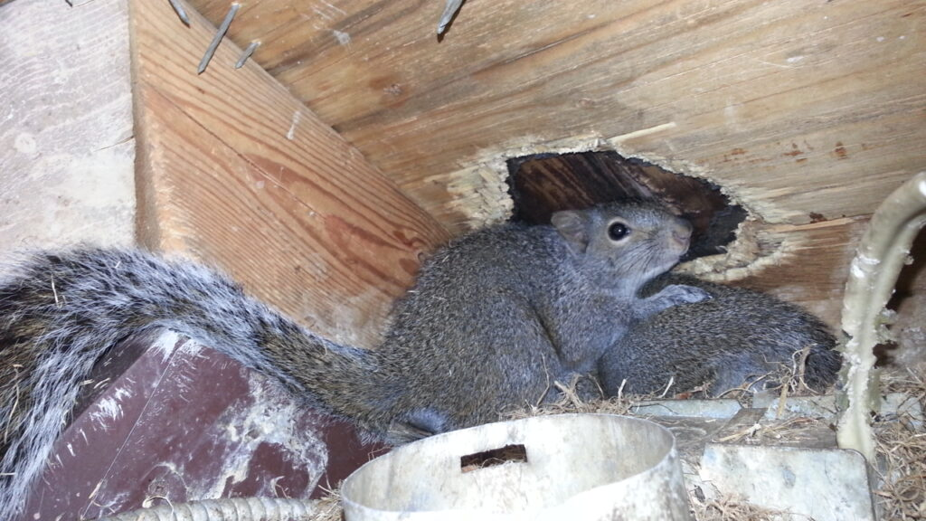 Squirrels are capable of causing extensive damage to attic structural wood and electrical wiring