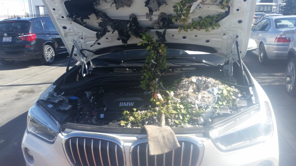 A large squirrel nest inside the engine of a car can lead to expensive repairs
