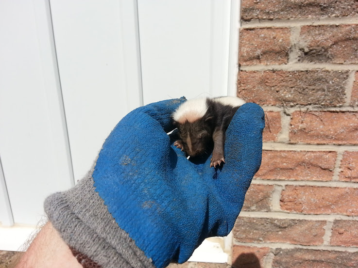 A newborn baby skunk removed by hand from below a back deck