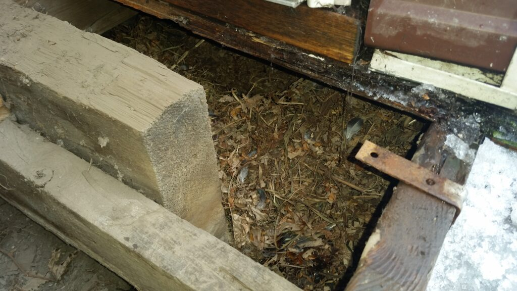 A skunk nest below an addition made up of leaves, grass and sticks