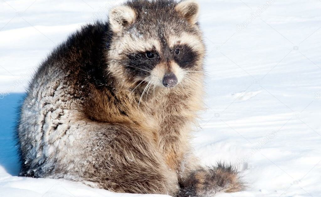raccoon out in the snow