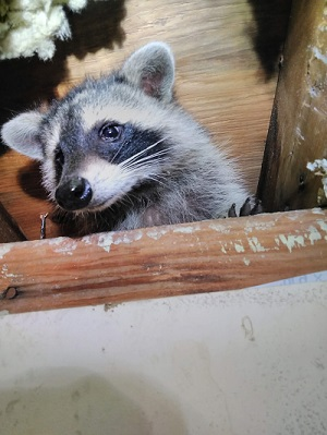 Raccoon with Debris