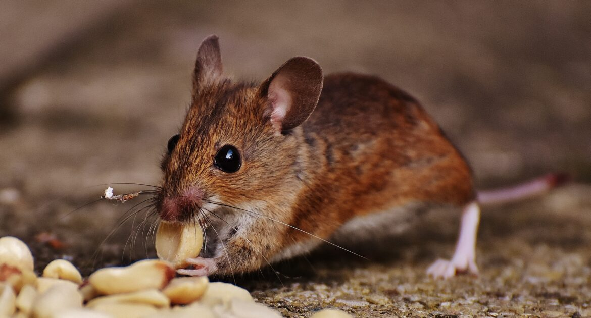 If you see one mouse in your home, chances are you have up to 20 more.