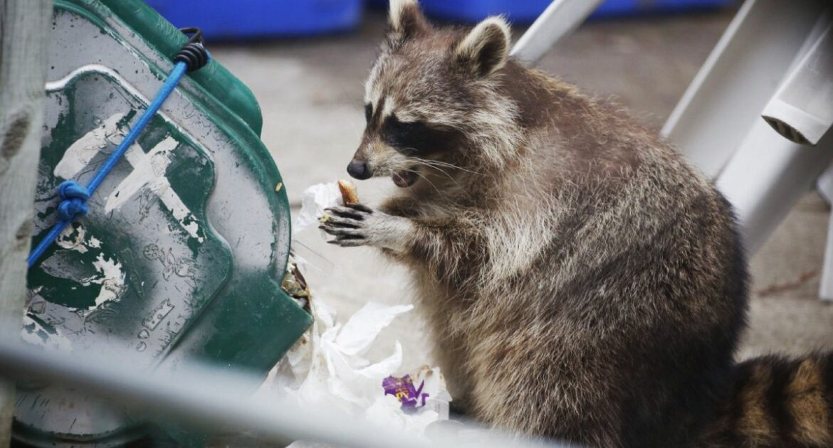 Food left out is the number one reason you may find raccoons on your property.